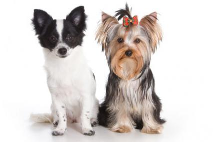 Chorkie Characteristics, Personality, and Care | LoveToKnow