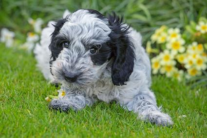 Cockapoo puppy eating primroses in garden