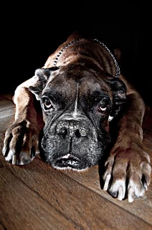 Old boxer dog with crusty nose