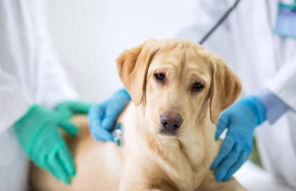 Dog being examined by the vet