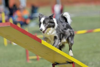 Border Collie on agility course, see-saw or teeter obstacle