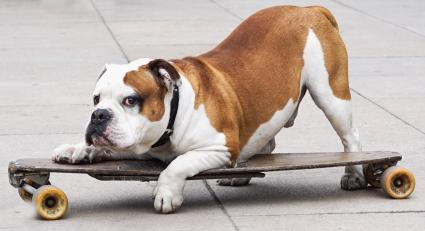 bulldog on a skateboard