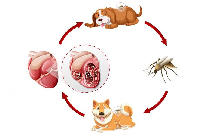 Crucial Facts About The Heartworm Life Cycle Lovetoknow