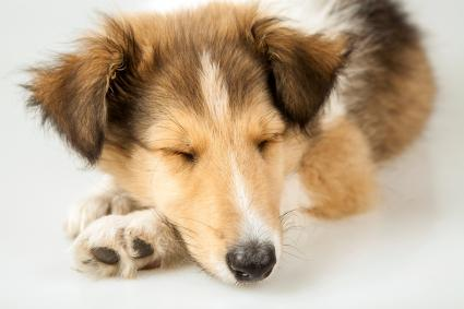 puppy collie sleeping