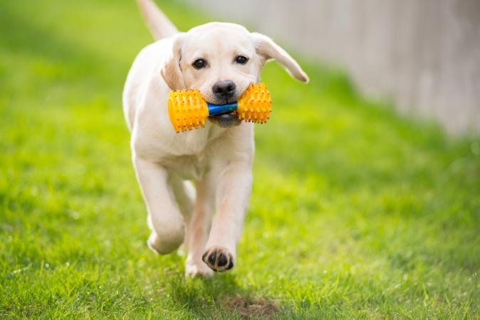 100 Fantastic Yellow Lab Puppy Names Lovetoknow