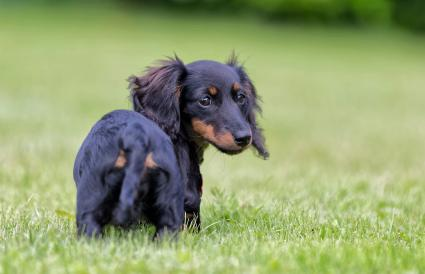 Miniature Dachshund Rescue Lovetoknow