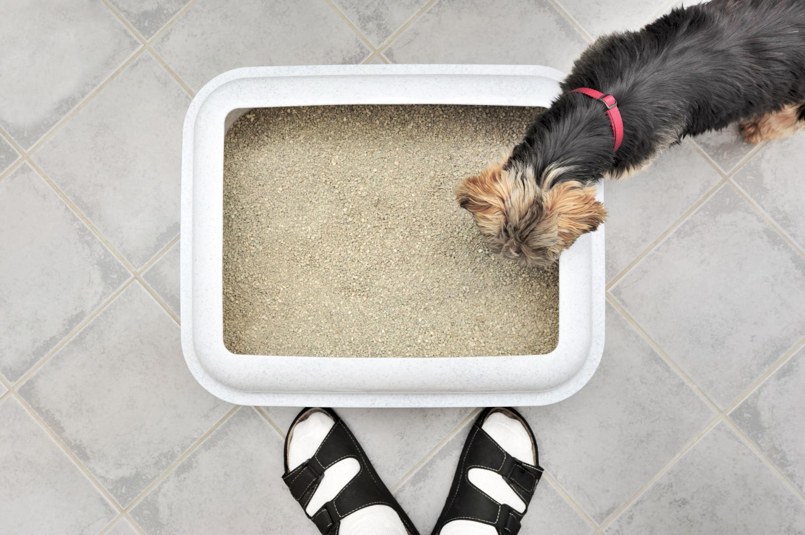 Dog Litter Box and a York prey terrier