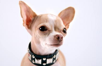 Chihuahua wearing a punk collar