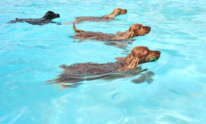 Dogs swimming in a bright pool