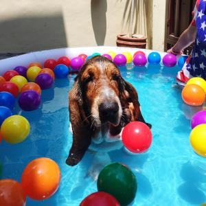 Basset Hound In Swimming Pool