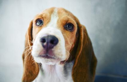 Beagle puppy close up