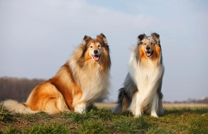 Rough Collies sitting on a meadow