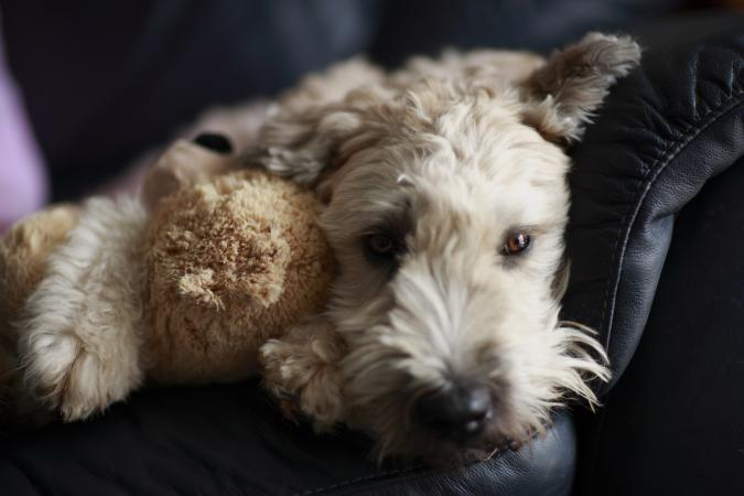 Wheaten terrier with teddy bear