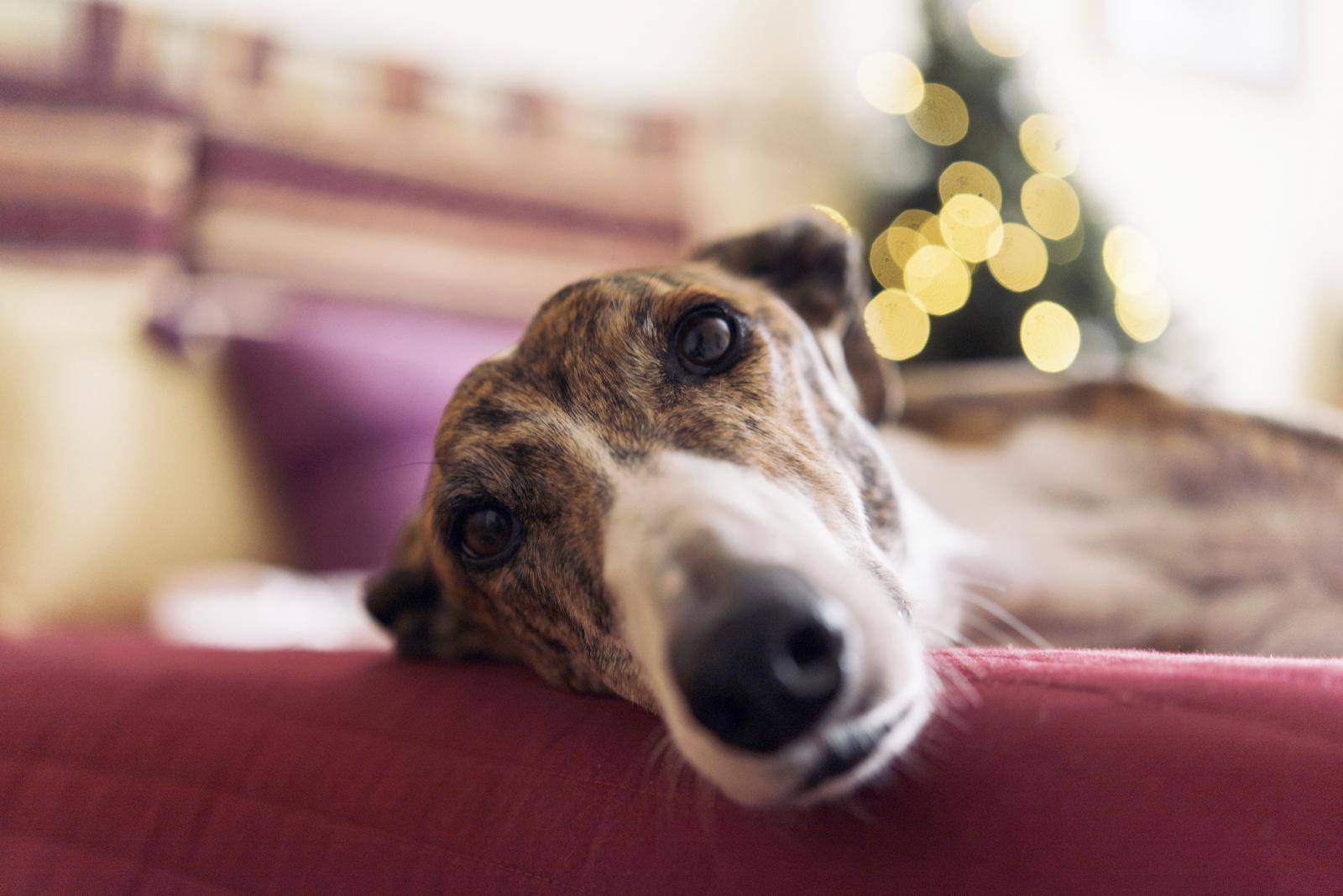 Greyhound lying on couch at Christmas time