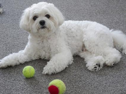 Cavachon on floor playing with balls