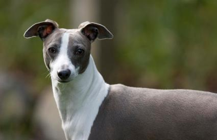 Blue and White Italian Greyhound