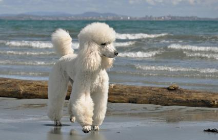 Poodle by the sea
