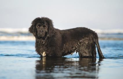 Newfoundland Dog In Sea