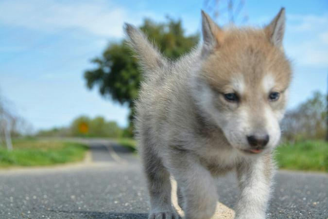 Young wolf dog