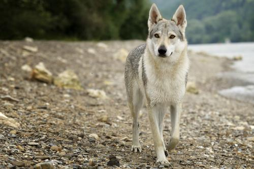 Wolf dog hybrid on beach