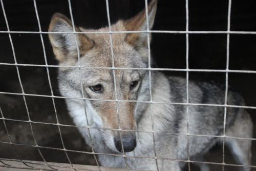Wolf dog hybrid looking through fence