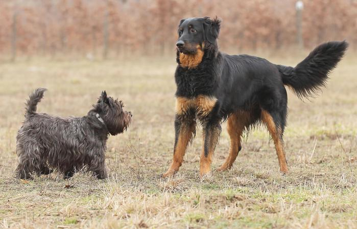 Large dog is afraid of a small dog