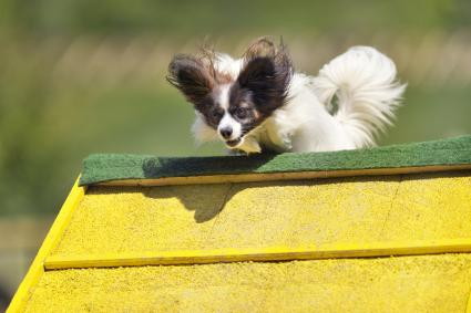 Papillon on agility course