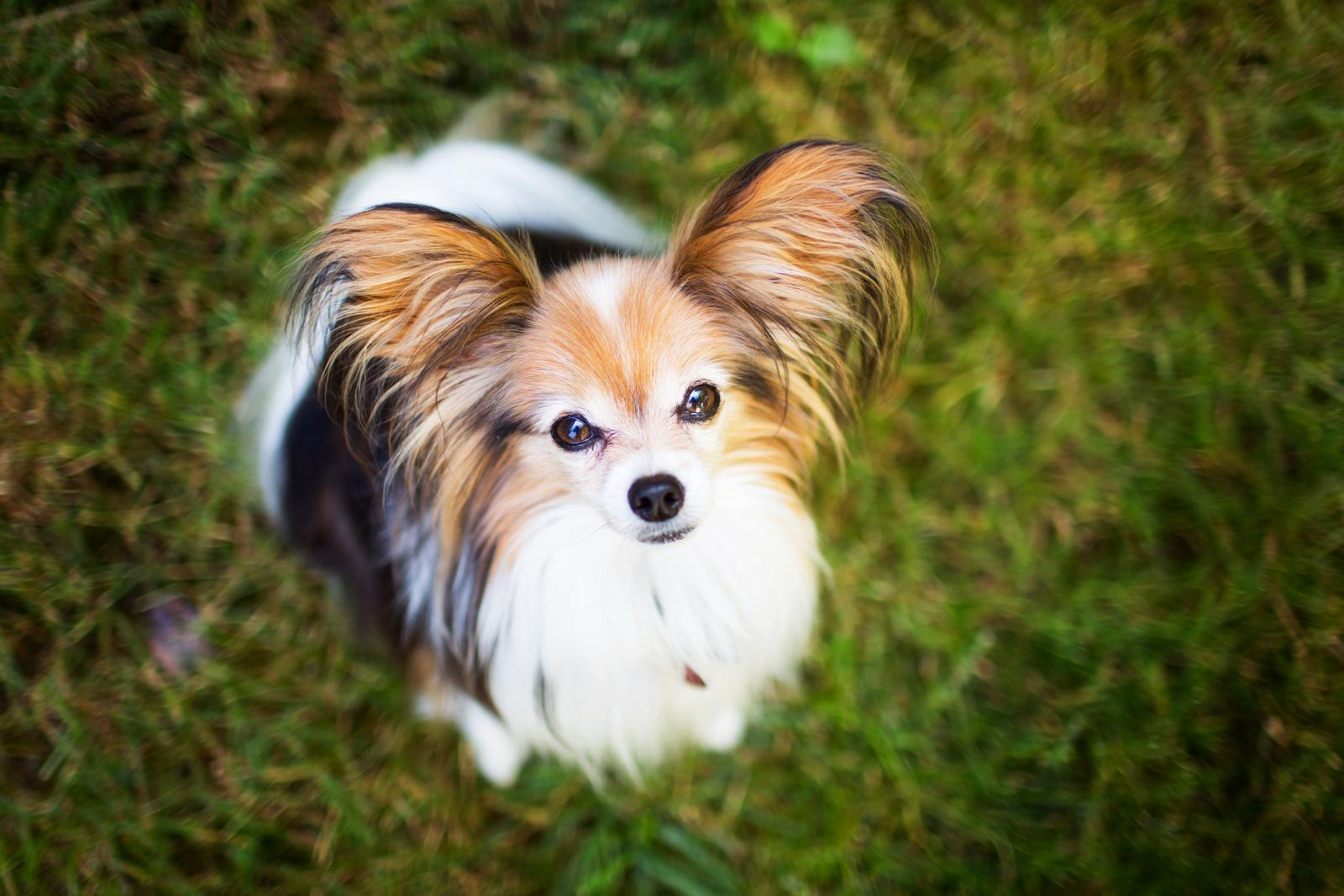 Papillon Dog Looking Up