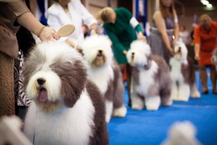 Old English Sheepdogs at a dog show