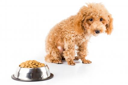 Poodle looking at bowl of food