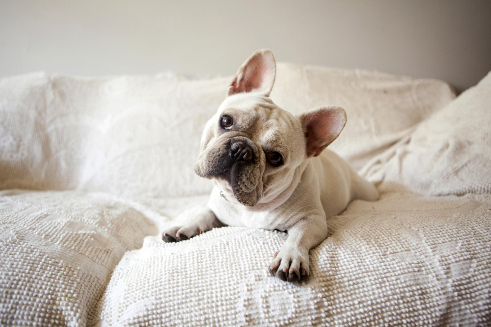 French Bulldog lying down on sofa