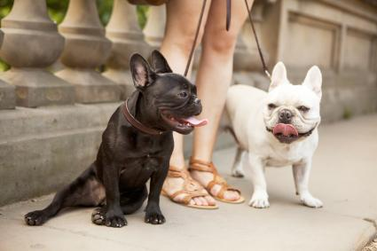 Portrait of two French Bulldogs