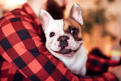 Cute French bulldog and owner