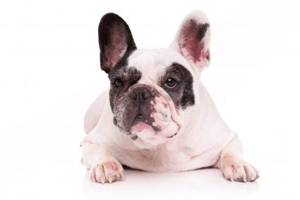 White french bulldog looks away