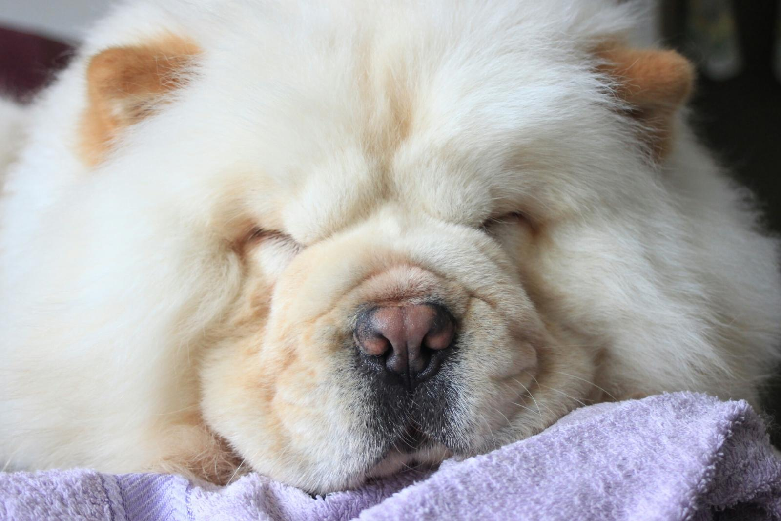 Chow chow dog sleeping