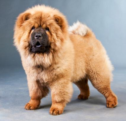 Red chow-chow