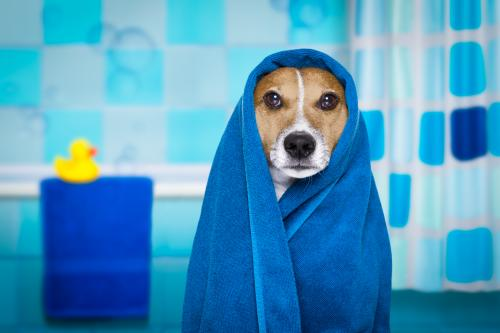 Dog wrapped in towel by shower