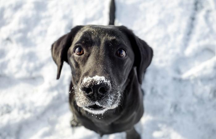 Labrador Sitting In Snow