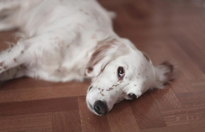 Sweet english setter resting on the floor