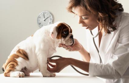 Female veterinarian examining puppy