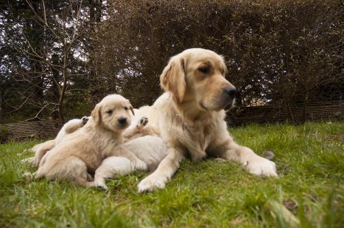 Golden retriever mom and pups