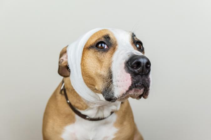 Dog with head bandage