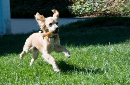 Dog running with chew bone