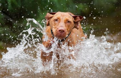 running Vizsla red dog in low water