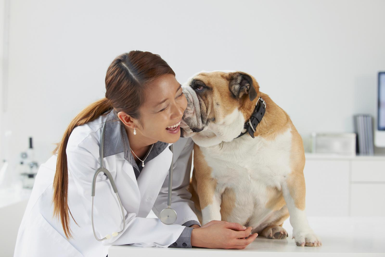 English Bulldog kissing vet