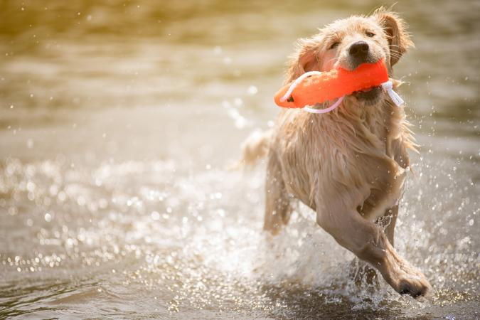 Dog running with toy in water