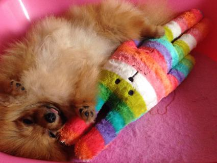 Toy Pomeranian pup on her back