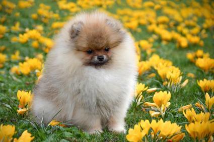 Baby Doll Pomeranian Puppy