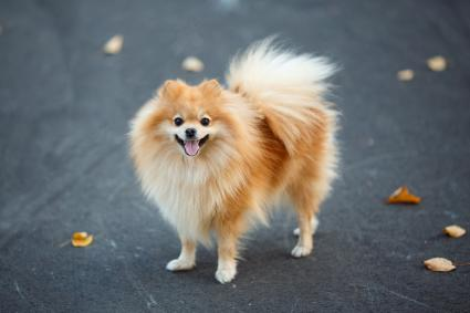 Pomeranian Pup in Autumn