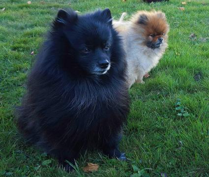 Black Pomeranian sitting on grass